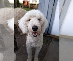 Small Photo #1 Poodle (Standard) Puppy For Sale in NEW LONDON, IA, USA
