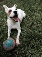 Apache - Bull Terrier / Terrier / Mixed Dog For Adoption