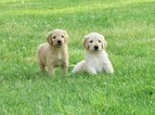 Goldendoodle Puppy For Sale in WAYNESVILLE, MO