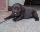 Labrador Retriever Puppy For Sale in MORENO VALLEY, California,