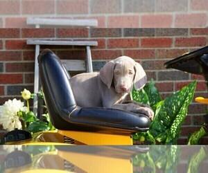 Weimaraner Puppy for sale in FREDERICKSBG, OH, USA