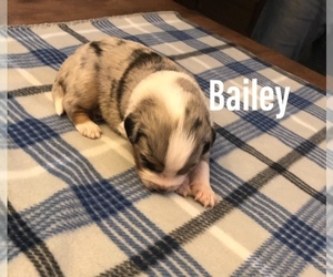 Miniature Australian Shepherd Puppy for Sale in HUNTSVILLE, Arkansas USA