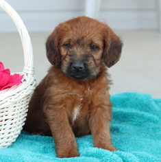 Boerboel-Poodle (Miniature) Mix Puppy for sale in GAP, PA, USA