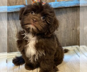 Morkie-Yorkshire Terrier Mix Puppy for sale in OTTAWA, KS, USA