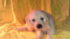 Golden Retriever Puppy For Sale in ENFIELD, CT,