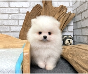 Pomeranian Puppy for sale in BEVERLY HILLS, CA, USA