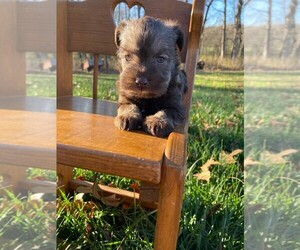 Schnauzer (Miniature) Puppy for Sale in NIANGUA, Missouri USA