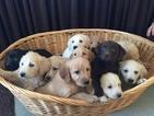 Labrador Retriever Puppy For Sale in LEO, IN, USA