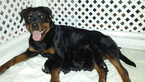 Rottweiler Puppy For Sale in ZEBULON, North Carolina,