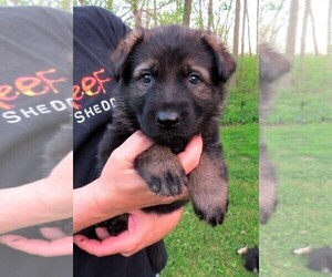 German Shepherd Dog Puppy for sale in WADSWORTH, IL, USA