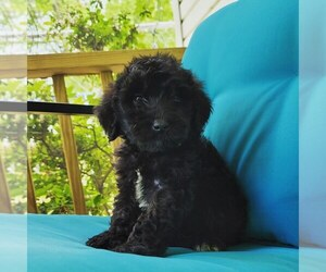 Schnoodle (Giant) Puppy for Sale in HENDERSON, North Carolina USA