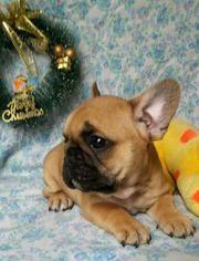 French Bulldog Puppy For Sale in ALEXANDRIA, VA, USA