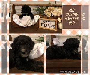 Goldendoodle Dog for Adoption in DUNCAN, North Carolina USA