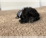 Small #5 Pekingese-Poodle (Toy) Mix