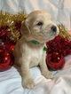 Golden Cocker Retriever Puppy For Sale in BEAN BLOSSOM, IN, USA