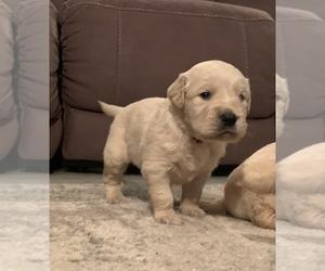 Golden Retriever Puppy for sale in PIERCETON, IN, USA