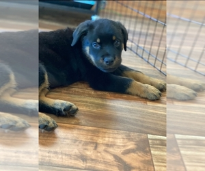 Rottweiler Puppy for Sale in CORONA, California USA