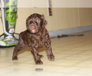 Poodle (Standard) Puppy for sale in SPENCER, TN, USA