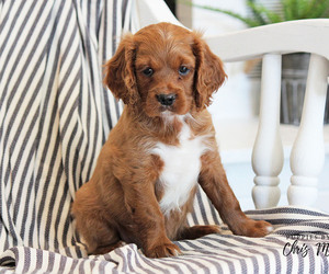 Cavalier King Charles Spaniel-Cockapoo Mix Puppy for sale in EPHRATA, PA, USA