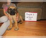 Small #11 Mastiff