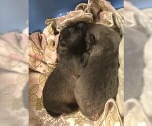 Pomeranian Puppy for sale in FAIRHOPE, AL, USA