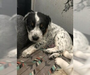 Australian Cattle Dog Puppy For Sale in PLYMOUTH, MI, USA