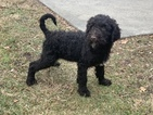 Goldendoodle-Poodle (Standard) Mix Puppy For Sale in DETROIT, MI, USA
