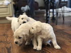 Golden Retriever Puppy For Sale in FOWLERVILLE, Michigan,
