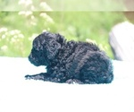 Small #19 Poodle (Standard)