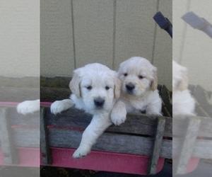 Golden Retriever Puppy for sale in DAYTON, VA, USA