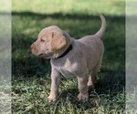 Small #3 Labrador Retriever