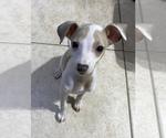 Small #6 Italian Greyhound