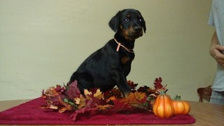 Doberman Pinscher Puppy For Sale in POLK, NE, USA