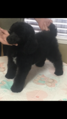 Poodle (Standard) Puppy For Sale in OAK VIEW, CA, USA
