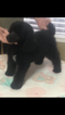 Poodle (Standard) Puppy For Sale in OAK VIEW, CA,