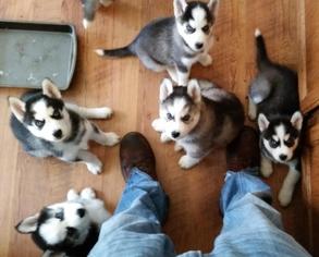 View Ad: Siberian Husky Puppy for Sale near Georgia, WARNER