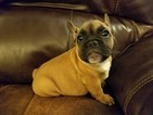 AKC Red Fawn Male French Bulldog
