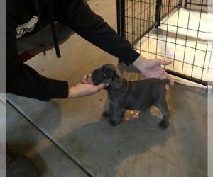 Cane Corso Puppy for sale in STKN, CA, USA