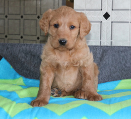 Labradoodle Puppy for sale in GAP, PA, USA