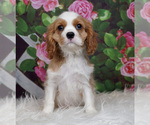 Puppy 10 Cavalier King Charles Spaniel