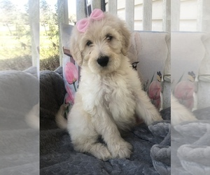 Goldendoodle Puppy for Sale in GREENWOOD, Arkansas USA