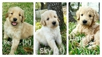 Goldendoodle Puppy For Sale in AUSTIN, TX