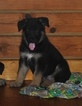 German Shepherd Dog Puppy For Sale in COTTAGEVILLE, SC, USA