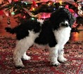 Poodle (Standard) Puppy For Sale in PLACERVILLE, CA, USA