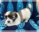 Puppy 2 Mal-Shi-Maltese Mix