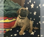 Bullmastiff Puppy For Sale in CLIFTON, CO, USA