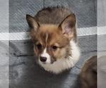 Puppy 2 Pembroke Welsh Corgi