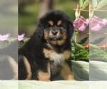 Puppy 7 Tibetan Mastiff