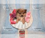 Small #11 Pomeranian