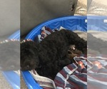 Small Poodle (Miniature)-Portuguese Water Dog Mix